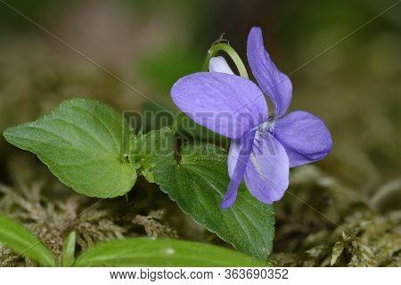 Common Dog-violet - Viola Riviniana  Flower & Leaves