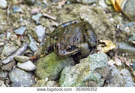 Frog Sitting On Stone In River . Wild Frog On River Stones . Frog In A River In The Middle Of Nature