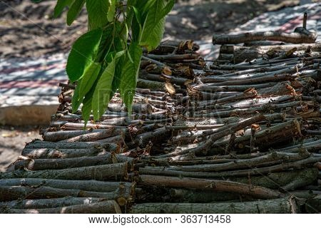Woodpile Of Cut Tree Branches Under Green Leaves Of Tree. Rustic Scene With Rows Of Stacked Firewood