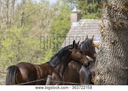 Four Heads Of Stallion Horses, At A Sunny Day. Galloping Dressage Horse Stallions In A Meadow. Breed