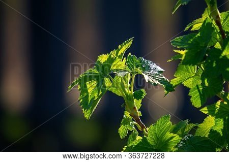 A Branch Of Black Currant In Spring Against The Background Of Nature. A Young Branch Of A Currant Bu