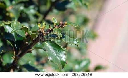 A Closeup Of An American Holly Tree In Bloom. Flowering Holly Bush Nice