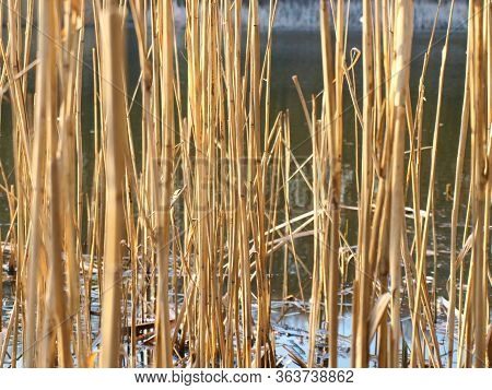 Dry Reeds On The Lake Sway In The Wind In The Sunset.glare On The Water From The Evening Sun Among D