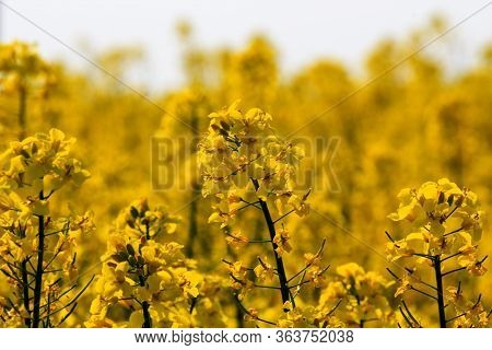 Rape Blossom And First Rape Fruits On The Stalk In A Beautiful Yellow Rape Field