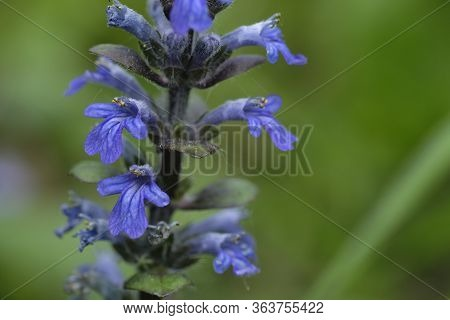 Blue Flowers Ajuga Genevensis On The Green Background. Ajuga Genevensis (also Variously Known As The