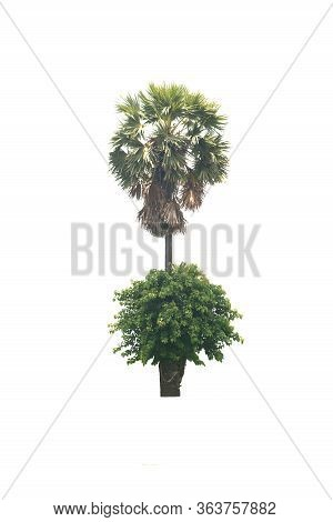 Sugar Palm Or Toddy Palm And Trees An Evergreen Leaves Plant On A White Background With The Clipping
