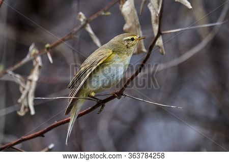 Bird - Willow Warbler ( Phylloscopus Trochilus ) Sitting On A Branch Of A Bush Cloudy Spring Evening