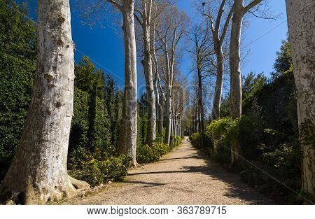 Sycamore Or Platanus Alley In Boboli Gardens, Florence, Italy.