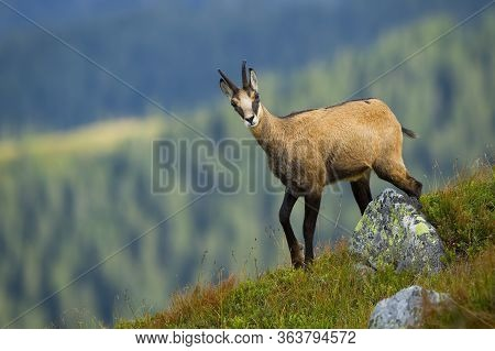 Alert Tatra Chamois Walking On Peak Of Hill In Summer Mountains