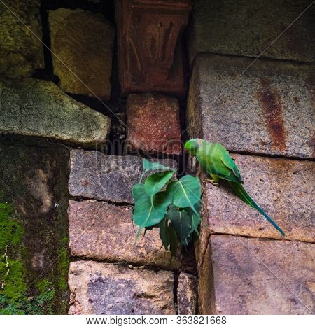 The Rose-ringed Parakeet (psittacula Krameri), Also Known As The Ring-necked Parakeet, In New Delhi,