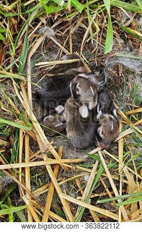 A Nest Of Newborn Wild Rabbits In A Grassy Yard In Illinois.