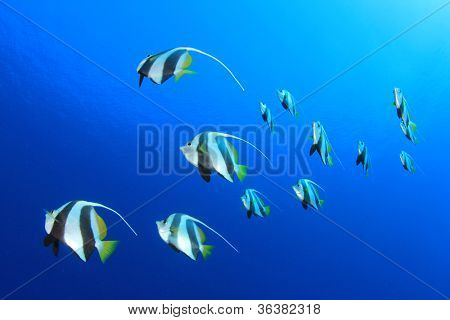Tropical Fish Shoal: Schooling Bannerfish in blue ocean