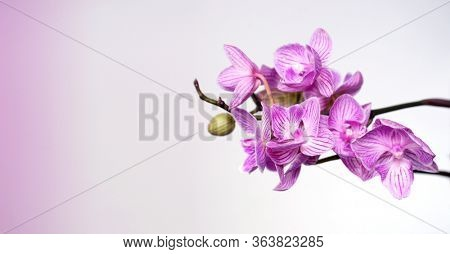 Pink flowers Phalaenopsis on a white background. Natural Orchid