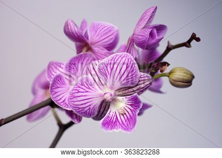 Pink flowers Phalaenopsis on a gray background. Natural Orchid