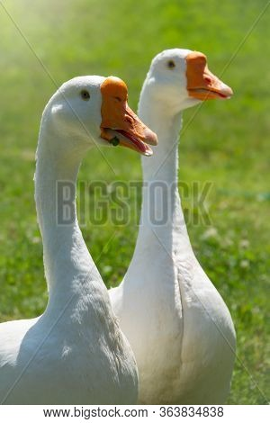 Two White Big Geese Walking Together In Green Grassy Lawn On Bright Sunny Day. Domestic Goose, Greyl