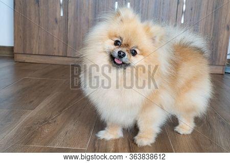 Portrait Of A Little Fluffy Pomeranian Puppy. Smiling Pomeranian Dog.