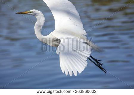 Great Egret flying over lake