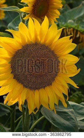Blooming Sunflower On  Field Of Sunflowers At Sunset. Floral Background. Blooming Sunflower On  Fiel