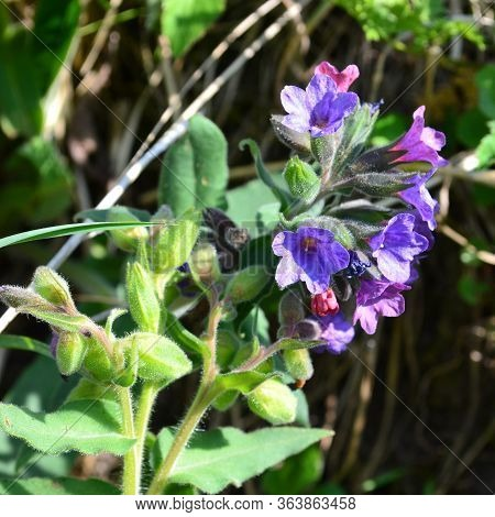 Pulmonaria Officinalis, Common Lungwort (also Known As Mary's Tears Or Our Lady's Milk Drops)  In Th