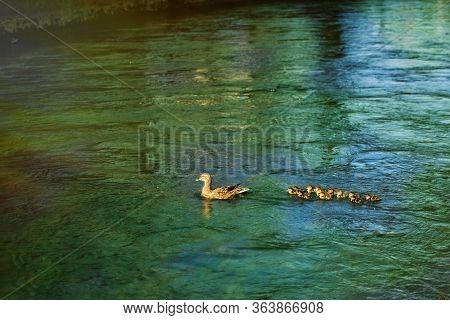 Ducks Follow Me, Ducklings, Duck Babies, Following Mother In Queue, Green Lake, Symbolic Figurative