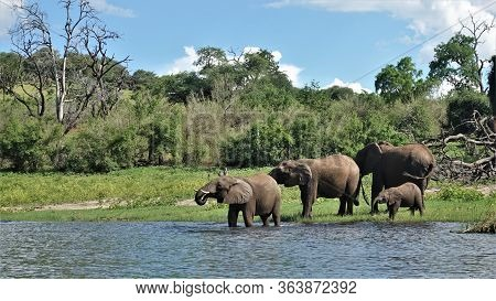 At A Watering Place. A Family Of Elephants Drinks Water From The Chobe River In The Jungle Of Botswa