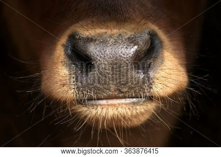 Close Up Detail Of The Nose Of A Young Red Spanish Bull Calf. Nostrils, Muzzle Texture And Lips Of T