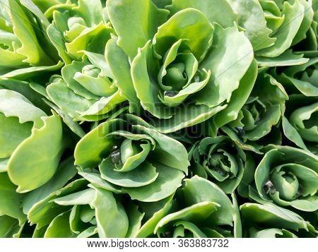 Stonecrop In Sunlight, Ornamental Garden Plant. Sedum Prominent (sedum Spectabile). Close Up Image