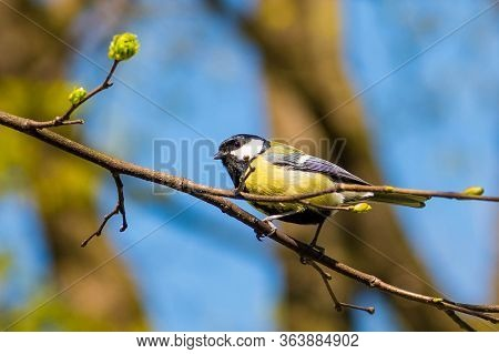 Beautiful Bird On A Blossom Tree Branch. Great Tit,  Passerine Bird In The Tit Family Paridae