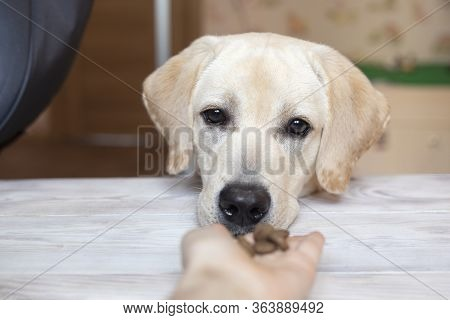 Close Up Shot Of Cream Labrador Retriever Dog Awaiting Patiently While An Owner Allows To Take Some