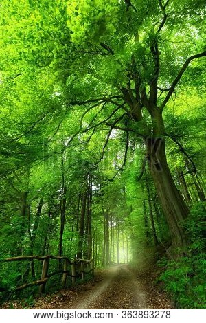 Majestic Beech Tree By A Path Leading Into A Bright Misty Spot In A Green Shady Forest With Soft Lig