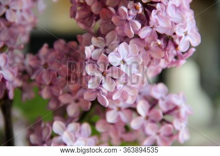 Blooming Lilac Branches Close-up. Magic Five Petals Will Fulfill Any Desire. Garden Lilac, Selective