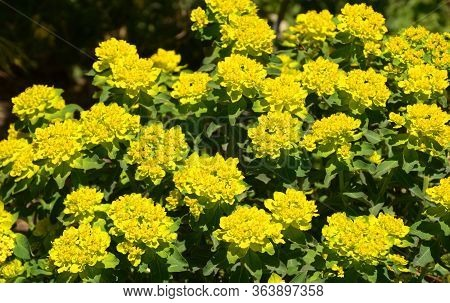 Cushion Spurge Plant In Summer With Bright Yellow Leaves And Flowers