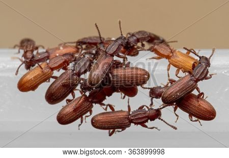 Macro Photography Of Group Of Sawtoothed Grain Beetle On White Plastic Box