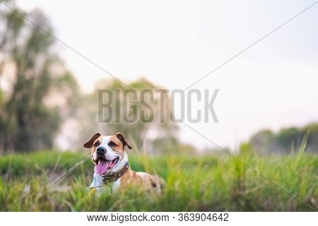 Happy Active Dog In The Meadows, Shallow Depth Of Field And Copy Space. Staffordshire Terrier Or Box