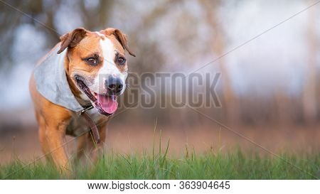 Smiling Staffordshire Terrier Dog Walking To The Camera. Active And Happy Domestic Pet In The Spring