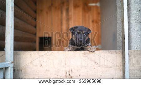 A Cheerful Dog Of A German Dog Is Waiting.. German Shepherd Dog Looks Ahead And Waits Commands.sunli