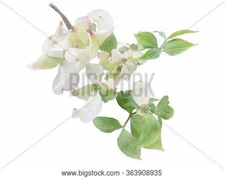 White Flowering Dogwood On Branch Watercolor Illustration Photo Manipulation Effect, Wedding Invitat