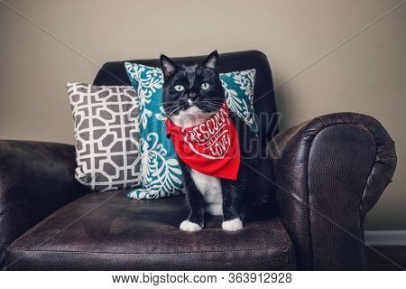 Adopted rescued black and White tuxedo cat wearing a bandana with
