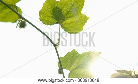 Close Up. Leaves Of Ivy Gourd, Coccinia, Coccinia Grandis, Gourd Vine Leaves