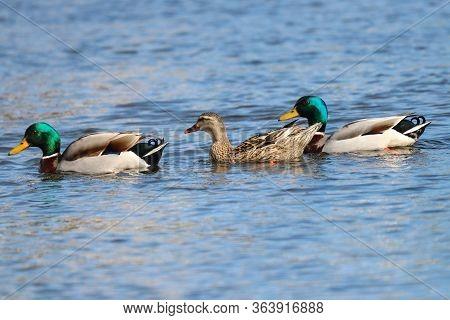 A Trio Of Mallard Ducks Swimming In A Line