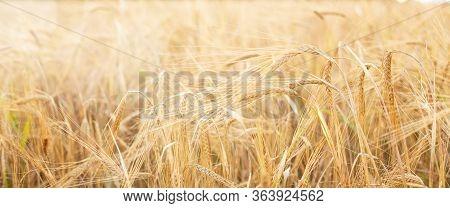 Barley Field. Beards Of Golden Barley Close Up. Beautiful Rural Landscape. Background Of Ripening Ea