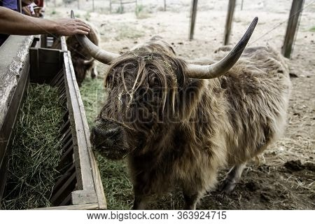 Wild Ox, Detail Of Large Horned Animal, Mammal