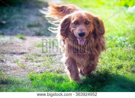 Long-haired Dachshund Dog Running In The Nature