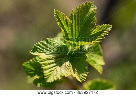 Currant Leaves. Spring Young Leaves Of Currant. Currant Branch With Young Leaves On A Blurry Backgro