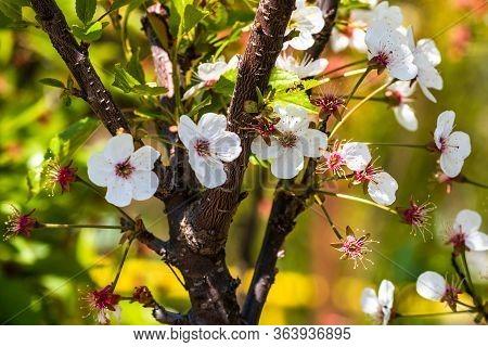 Close Up Of Cherry Flowers, Prunus Cerasus Tree Flowers Isolated.