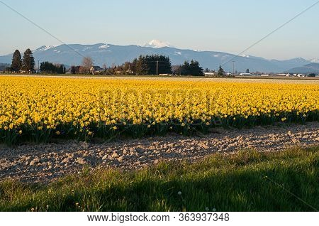 Spring Landscape With Daffodils And Mt Baker Washington, The Snow Capped Mountain In The Back.  Rura