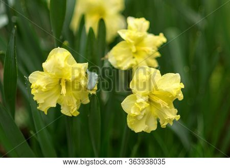 Close-up Of Two Narcissus Flowers In Spring Garden. Beautiful Daffodils Or Jonquils. Verirntal Garde