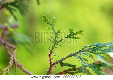Leaf atavism. Atavism seen on some conifers, where some leaves suddenly revert to ancient or ancestral form. Often occurs after heavy pruning.