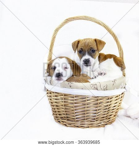 cute Three Puppies Bitches Jack Russell Terrier Are Sitting In An Easter Basket Sticking Their Face
