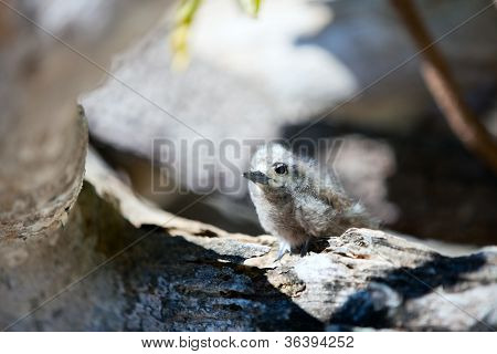 White tern baby on a branch at Bird island on Tikehau